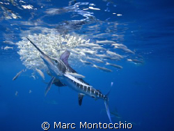 Striped marlin strikes sardines from a baitball. www.marc... by Marc Montocchio 